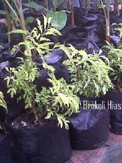 Brokoli Hias Hijau