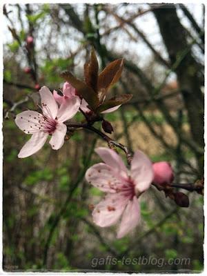 Blutpflaumen Blüten