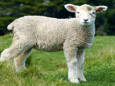 Pet Animals Name Sheep