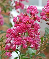 Koleksi Tanaman Hias Gerombol Bunga Pink Crape Myrtle Yang Cantik