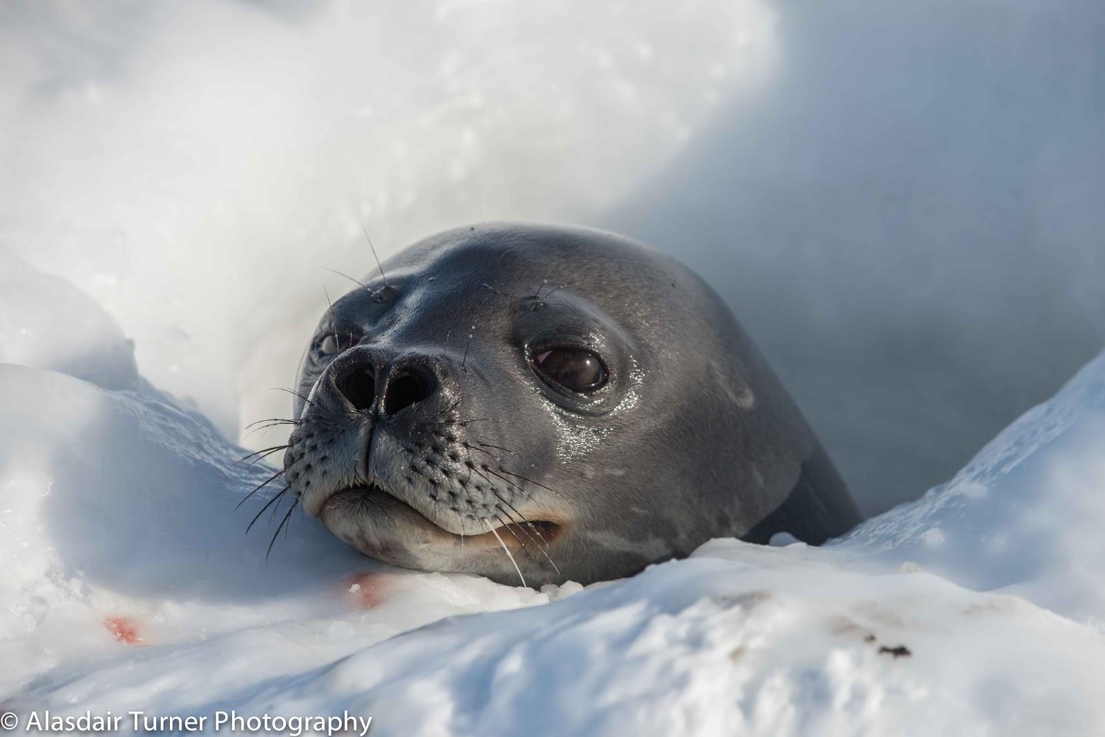 Alasdair Turner Photography: Weddell Seals
