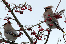Queensbury Waxwings