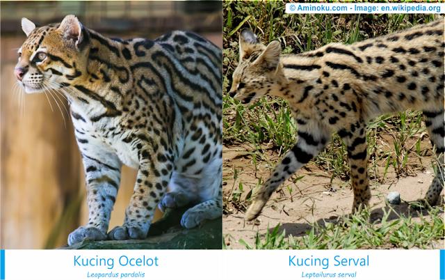Perbedaan antara kucing ocelot dan kucing serval
