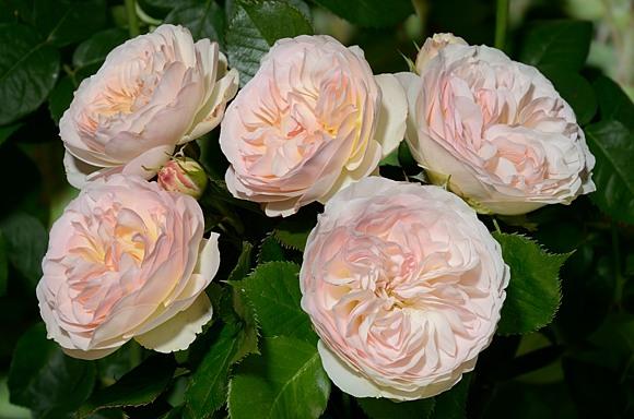 Pastella rose сорт розы фото