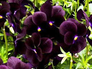 Gambar Bunga Anggrek Hitam (Black Orchid Flowers) 1000