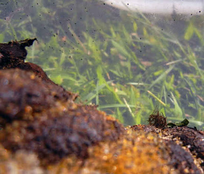 Pilobolus lentiger on manure