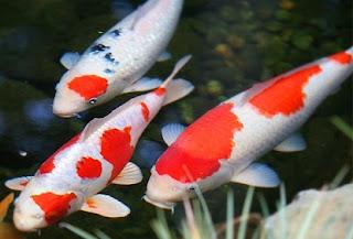 cara budidaya ikan koi di aquarium,budidaya ikan koi di kolam beton,budidaya ikan koi di kolam terpal,pembesaran ikan koi,Koi,