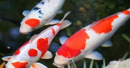 Cara Budidaya Ikan Koi di Kolam Terpal - Pusat Ikan Koi