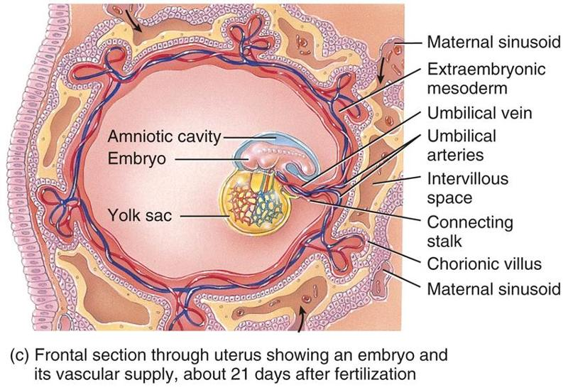 lies and claims about the quran : Embryology in the quran