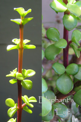 Portulacaria afra leaves young and old