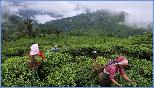 Darjeeling tea planters call meet with unions on Friday