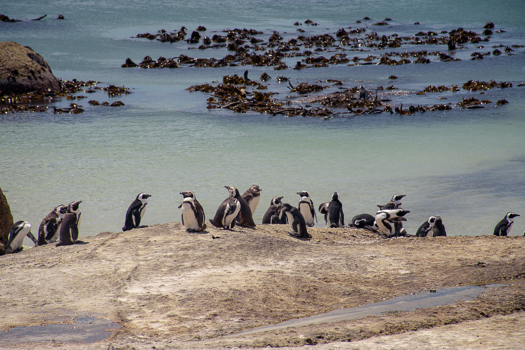 images of boulders beach, where to go in cape town south africa, attraction and things to do, beaches, beach