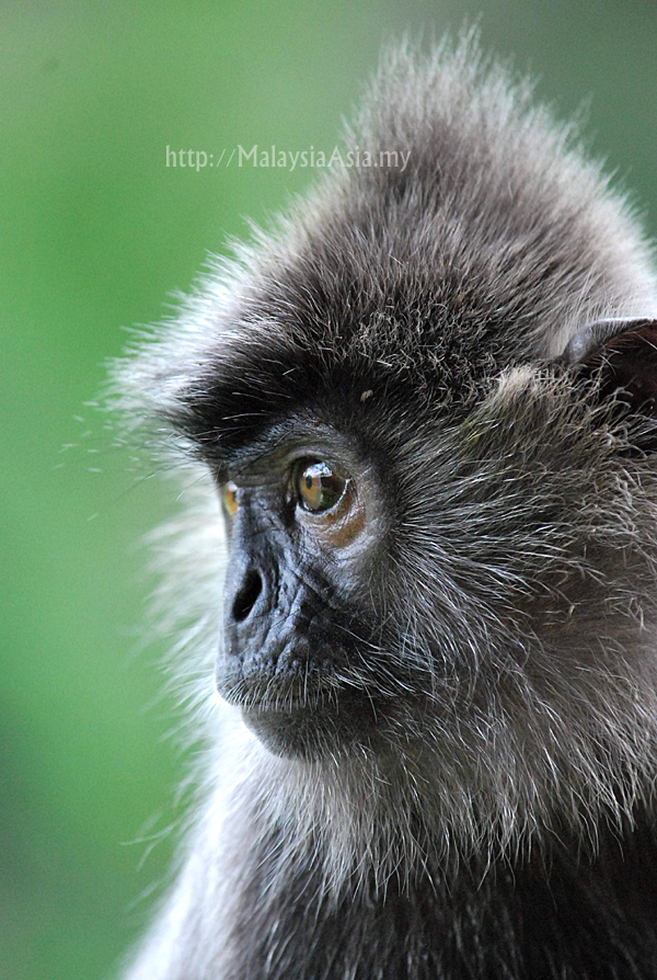 Photo of Silver Leaf Monkey