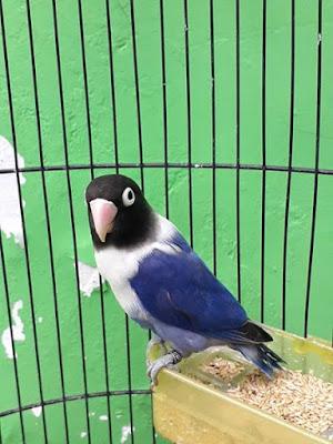 Harga Lovebird Violet Terbaru Samlovebird