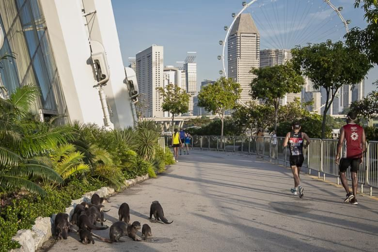 A group of otters were seen at a section of the marathon route that went through Gardens by the Bay on Dec 9, 2018.