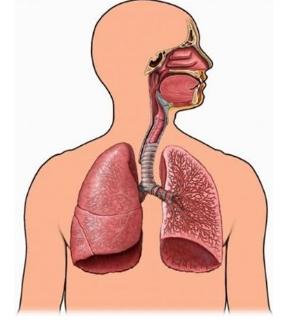 Pengertian, Organ - Organ Pernapasan, Jenis - Jenis Dan Gangguan Sistem Pernapasan Manusia