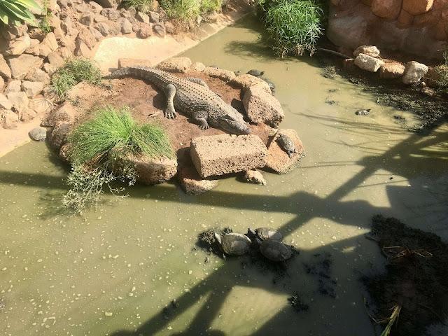 Monkey-park-los-cristianos-alligator