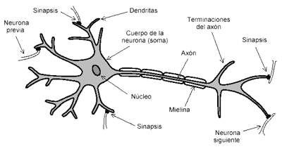 https://4.bp.blogspot.com/-9ClvjiULyfo/VRgrcuxfgYI/AAAAAAAAdqk/EvycXdDjO4k/s1600/Neurona%2By%2Bsus%2Bpartes.png