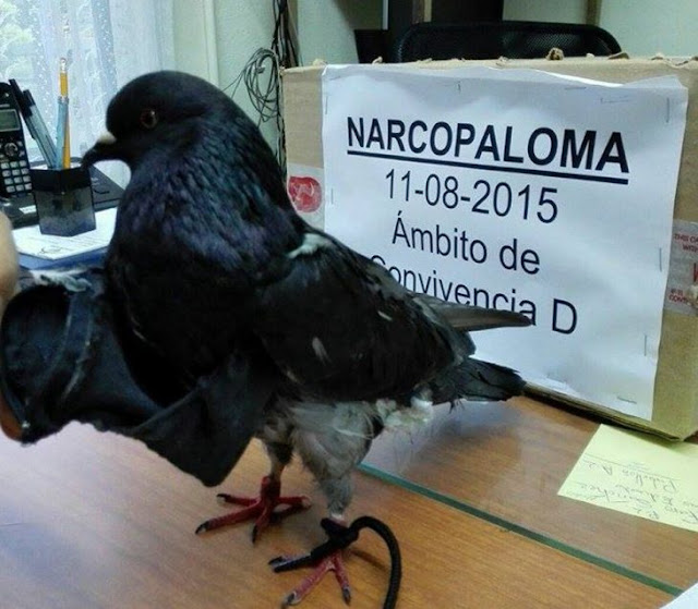 Una paloma entrenada intento ingresar drogas a una prisión