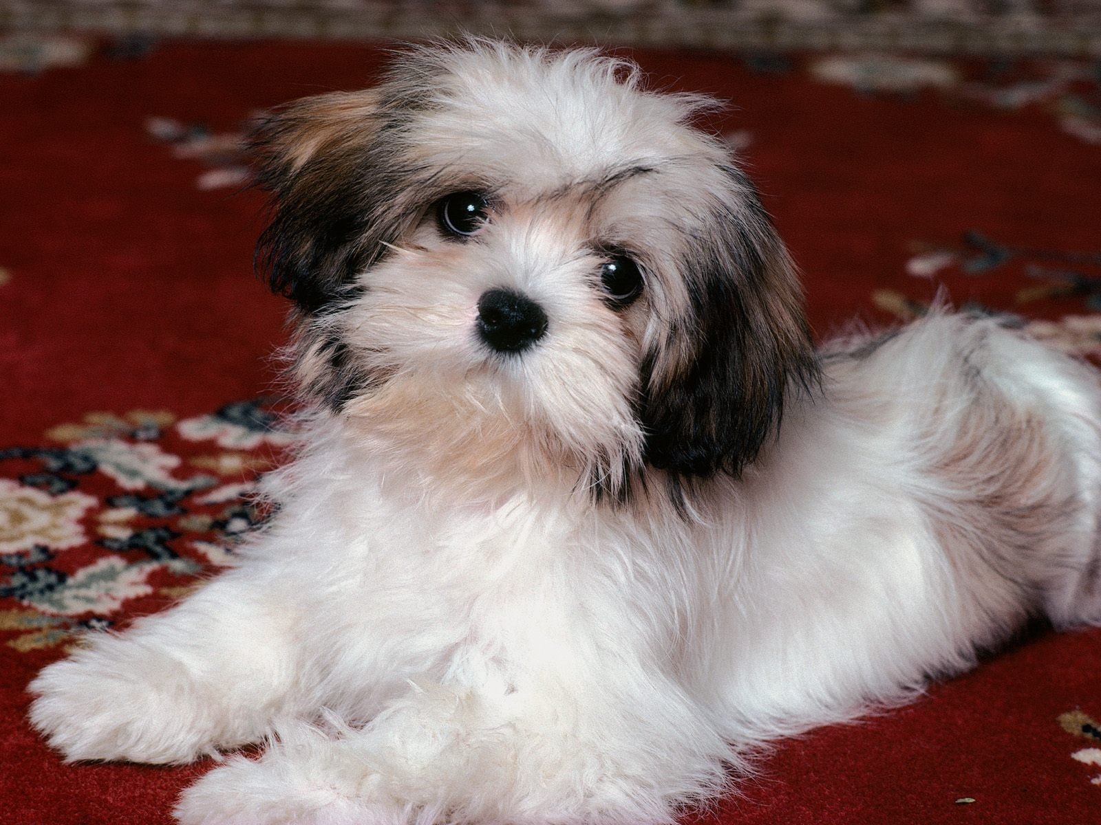 All List Of Different Dogs Breeds: Havanese Dog