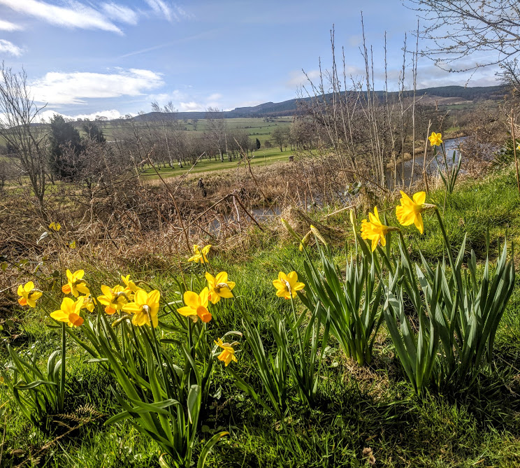 Rothbury Riverside Walk, Picnic Spots & Playground  - daffodils along the river