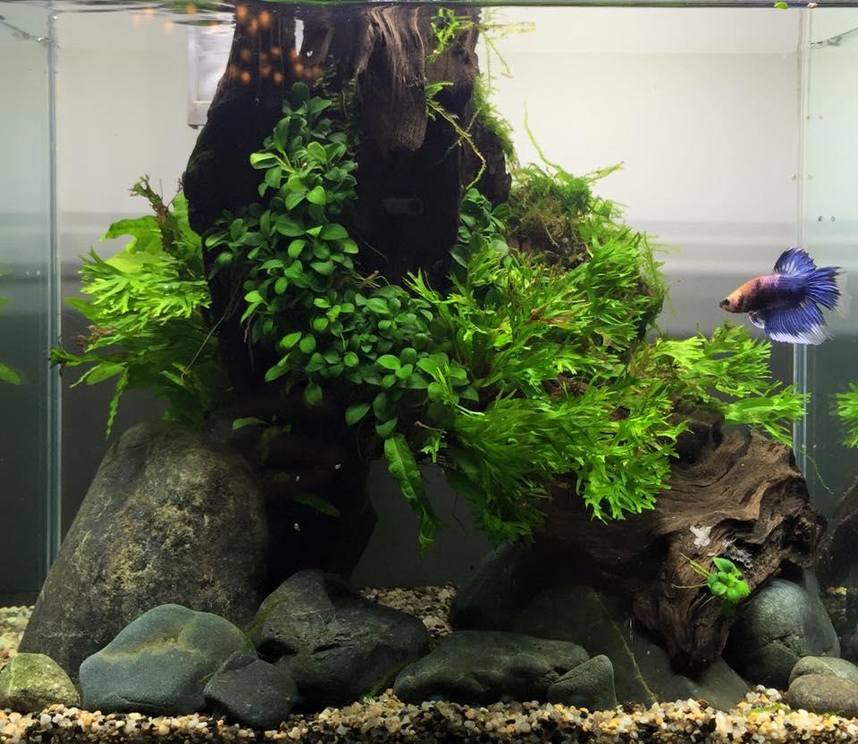 Cá Betta trong 1 bể thủy sinh nhỏ chơi ráy, dương xỉ