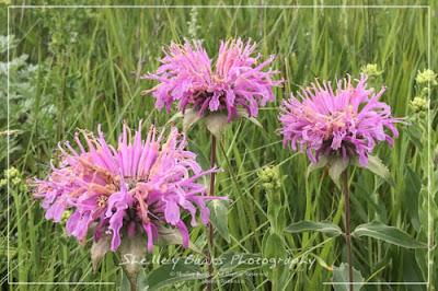 Western Wild Bergamot - Monarda fistulosa. Copyright © Shelley Banks, all rights reserved.