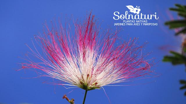 Calliandra parvifolia Flor de Seda flor