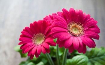Wallpaper: Gerbera Flowers