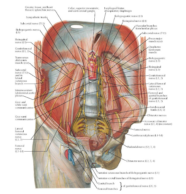 Nerves of Posterior Abdominal Wall Anatomy