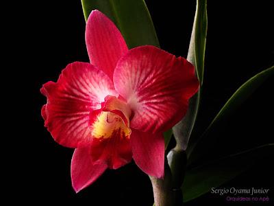 Mini-orquídea Sophrocattleya Batemaniana
