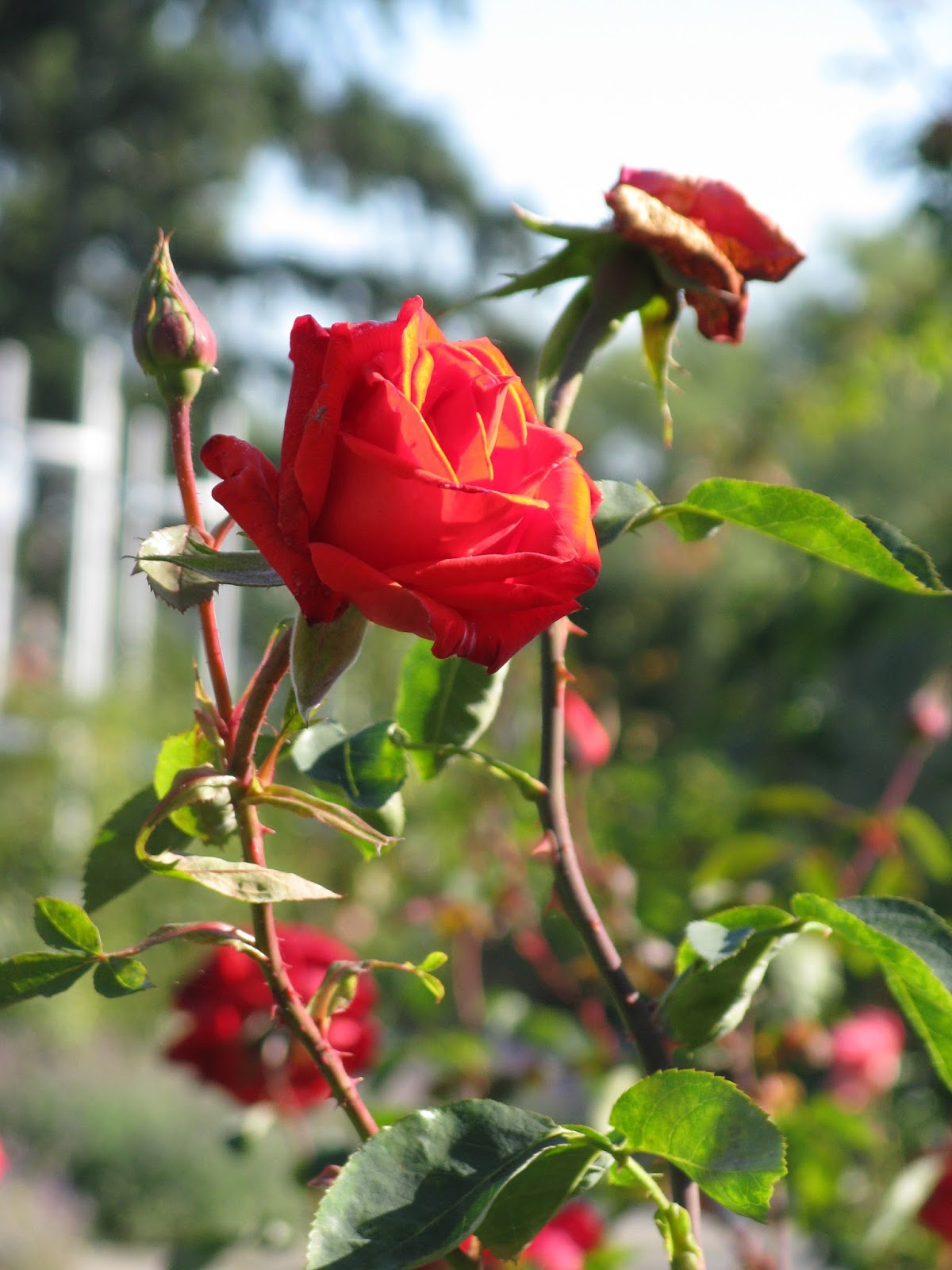 garden therapy: rose in the garden