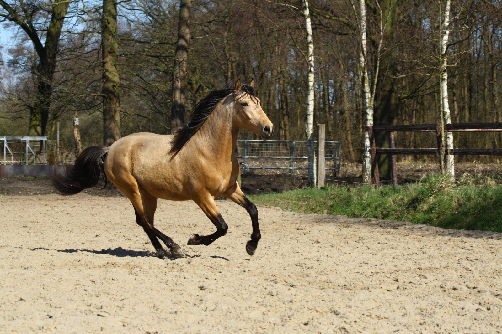 Cavalo Andaluz