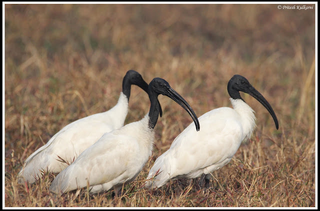 Oriental White ibis at Bharatpur