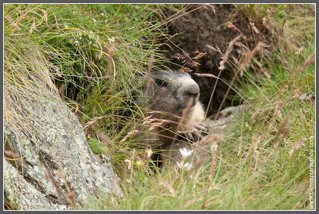 Marmota Carretera Grossglockner (Austria)