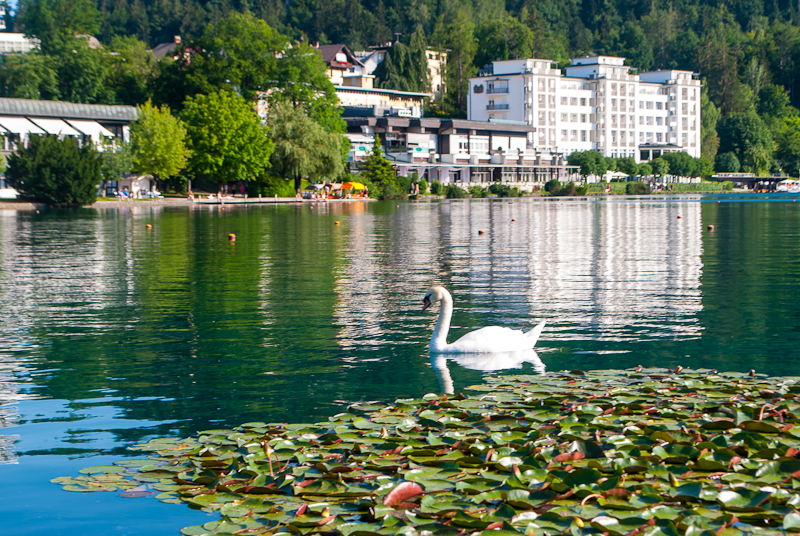 Swan and lily pads on lake bled slovenia