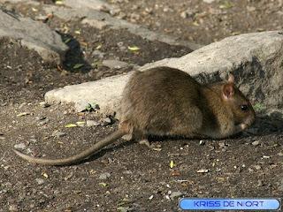Rat surmulot - Rat d'égout - Rat de Norvège - Rattus norvegicus