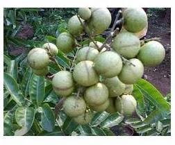 Kelengkeng Aroma Durian Berbuah Lebat