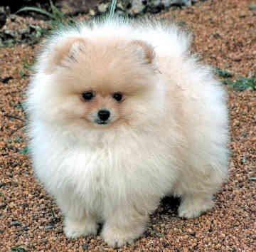 Pomeranian | Fun Animals Wiki, Videos, Pictures, Stories Pomeranian Wiki