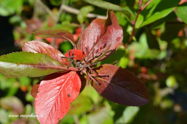 vihrea punainen aronia