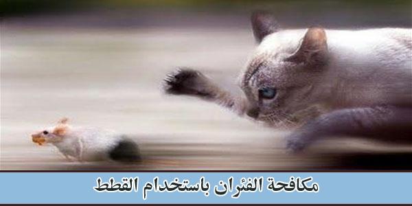 مكافحة الفئران باستخدام القطط