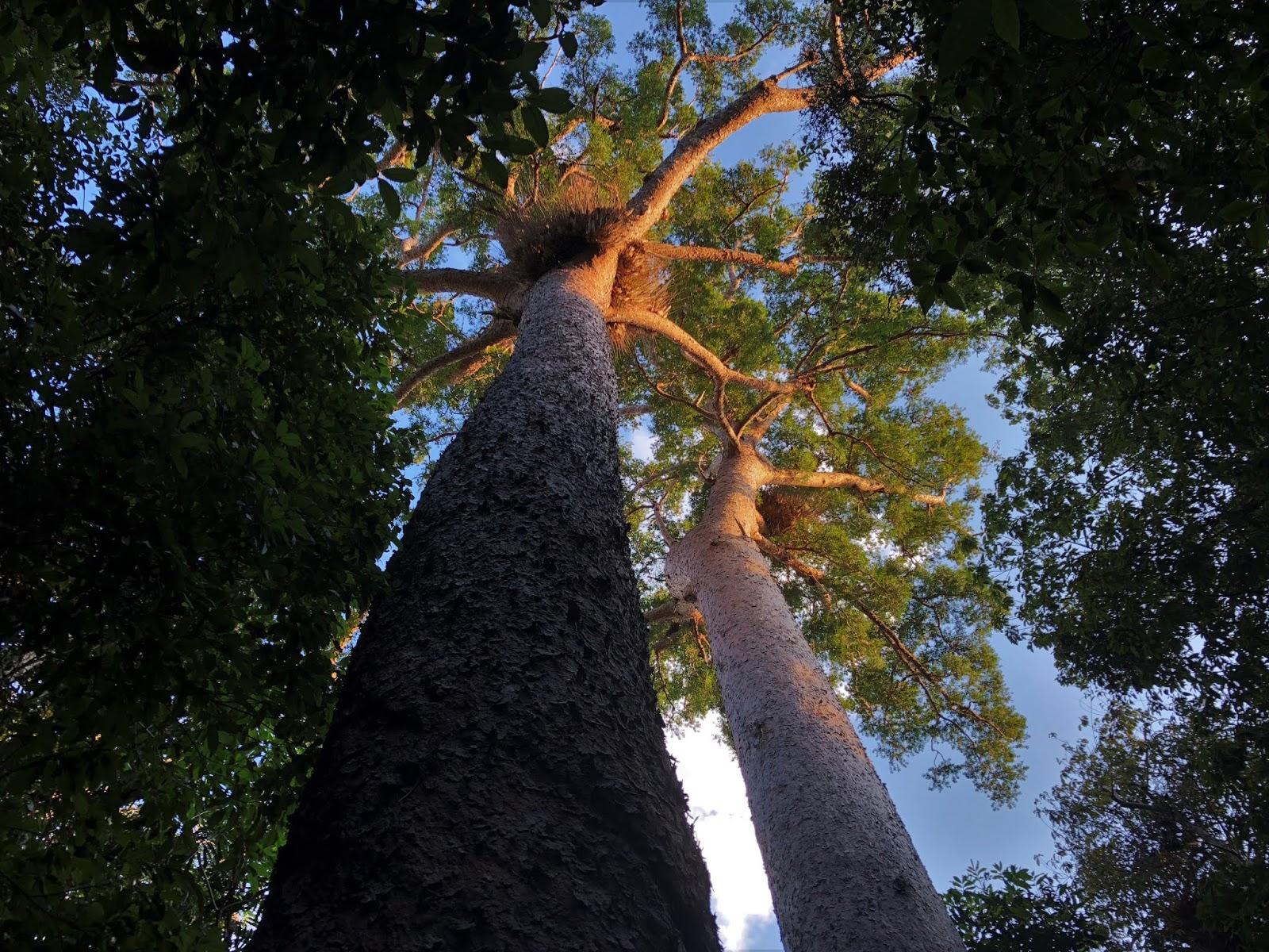 Ogromne dwa drzewa stojące obok siebie. Zdjęcie zrobione od dołu tak, że ich korona na samym czubku rozpościera się nad nami jak parasol.