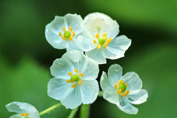 77 Diphylleia grayi, Bunga Ini Akan Berubah Transparan Jika Terkena Air