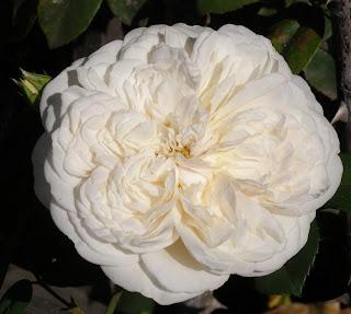 white_rose, sombreuil