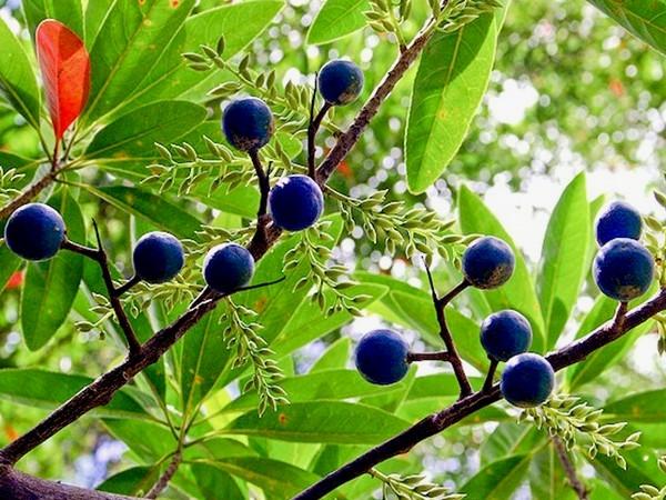Mungkin anda masih absurd dgn buah genitri atau jenitri 11 Manfaat Buah Ganitri Untuk Kesehatan dan Kecantikan