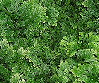 Spike Mosses or Selaginella