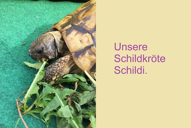 Schildkröte frisst Löwenzahn