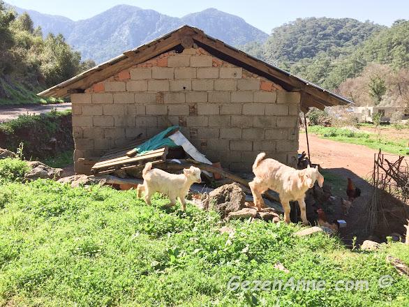 Turgut köyünde çayırlarda meleşen oğlaklar, Marmaris