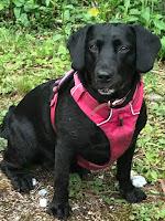 black springador dog sat with pink harness