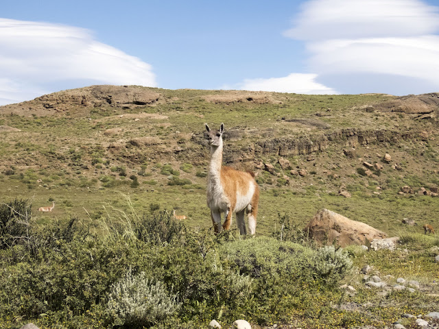 Guanaco spotted on a Torres del Paine day trip from Puerto Natales Chile